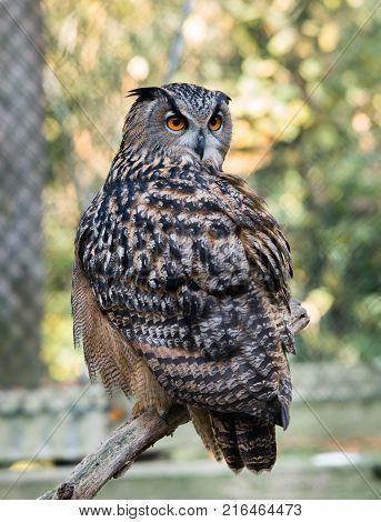 Eagle Owl - Bubo bubo - sitting on a branch