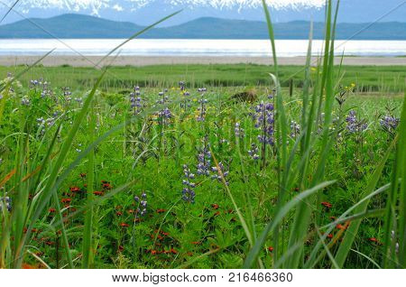 A beautiful panoramic landscape of wildflowers, a river and mountains, near Juneau, Alaska
