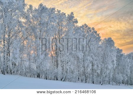 Birche trees hoarfrost covered on a of hill in gentle pink morning light of sunrise - fairy tale of winter forest