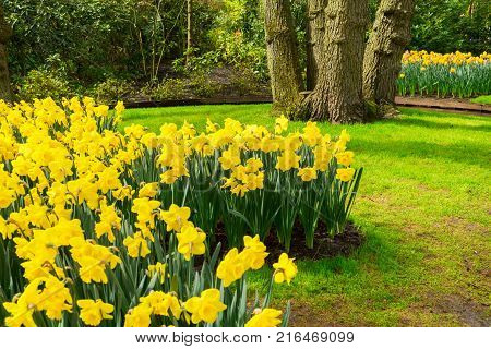 Colourful Daffodils Flowerbeds and Pathway in an Spring Formal Garden