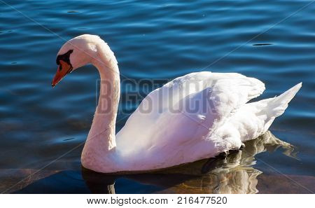 Graceful White Swan feeling shy in the lake