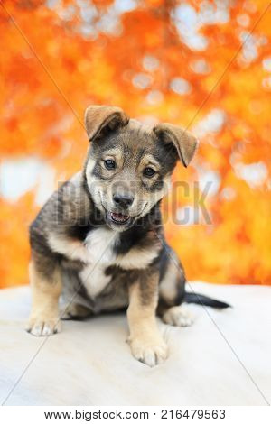 portert cute adorable puppy sitting in the Park on the background of bright autumn leaves
