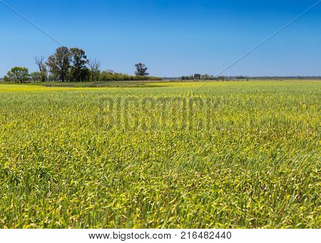 Field of corn. Rural farm land in a sunny day. Growing corn is still green. The sky is a clear and intense blue.