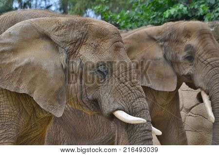 elephant ZOO Dvur Kralove eastern Bohemia Czech Republic