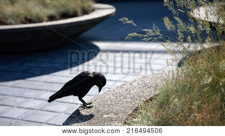 European Jackdaw in the park  - Stock image