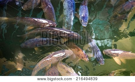 Close up fishes of Mercury's Pool Alcazar Seville Spain