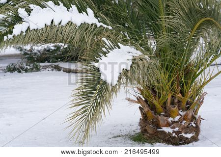 Leavs of palm trees covered with snow, unusual weather on the Adriatic coast in January 2017