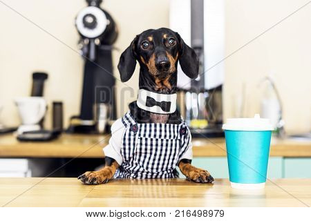 dog dachshund barista giving coffee cup to her customer in coffee house