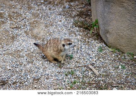 Cute small meerkat sitting in gravel looking at rock