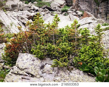 Stunted trees growing on a rock in the mountains