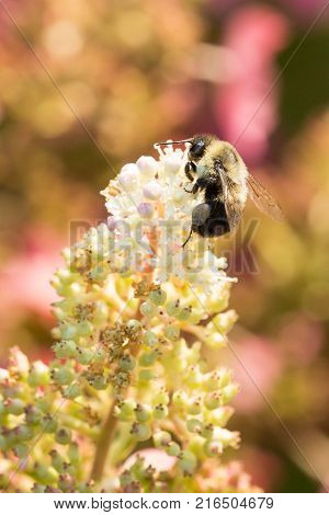Hymenoptera insect on small white flowers with blurred pink background