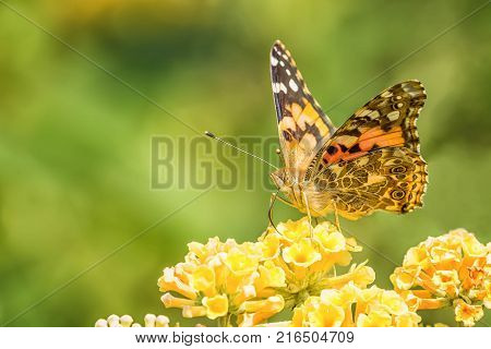 Painted lady butterfly on yellow flowers with blurred green background