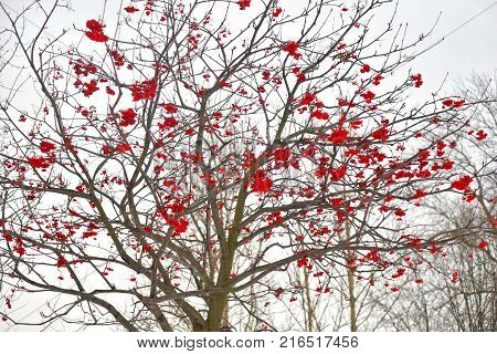 Rowanberry tree without leaves with red berries on cloud sky background.