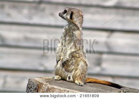 stunning meerkat