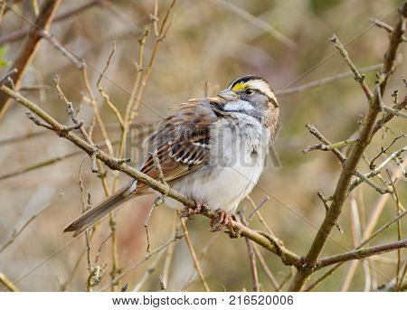 A White-Throated Sparrow (Zonotrichia albicollis) perches in a bare branch and looks back over its right shoulder, in Gettysburg, Adams County, Pennsylvania USA.