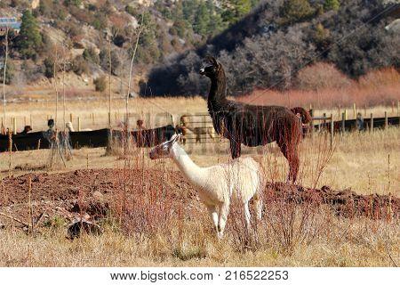 Llamas enjoying sunshine at a ranch in Durango, CO