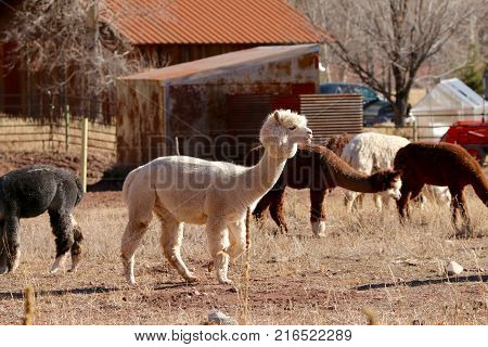 Alpacas enjoying sunshine at a ranch in Durango, CO