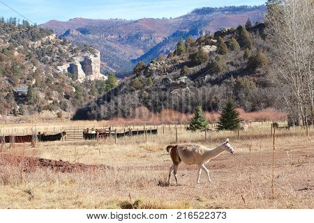 Llamas enjoying sunshine at a ranch in Durango, CO
