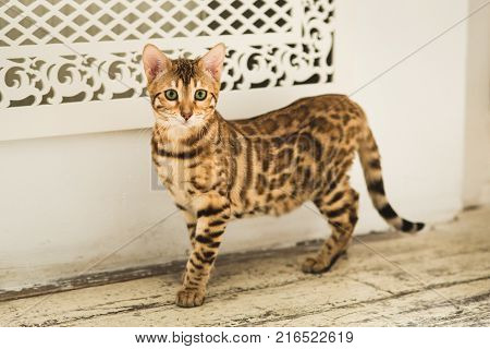 Portrait Of A Cute Bengal Cat Standing On The Floor Looking At Camera In Studio