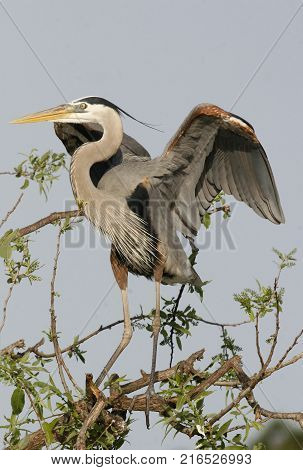 A Great Blue Heron, Ardea herodias in breeding plumage in a Florida rookery