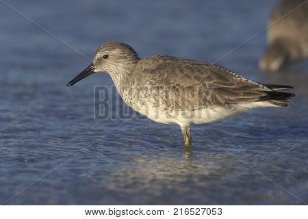 A Red Knot sandpiper, Calidris canutus in winter plumage in shallow water on a beach in Florida