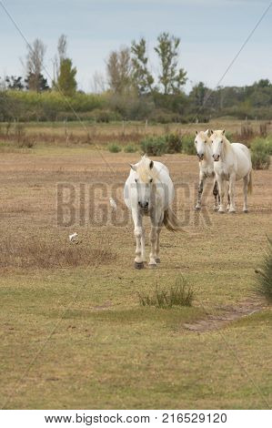 Three Camargue horses walking through a grassy pasture toward the camera. Egrets are in the field near the horses. Trees are in the background.