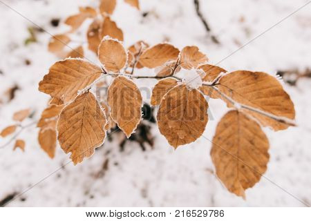 Frozen leaves in forest. Cold weather in nature. Close up  leaves.