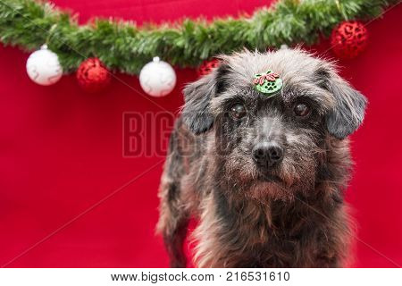 Yorkshire breed dog in Christmas balls scenario