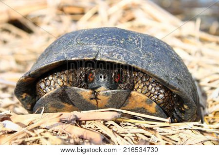 The Blandings Turtle (Emydoidea blandingii) is considered an endangered species in the state of Illinois