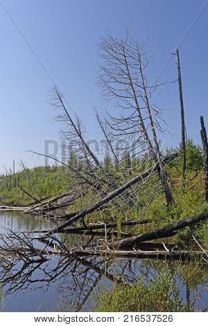 Burned Trees in a Rattle Lake in the Boundary Waters in Minnesota