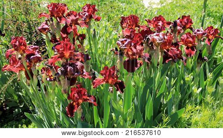 Many red Irises on the flower bed in the garden