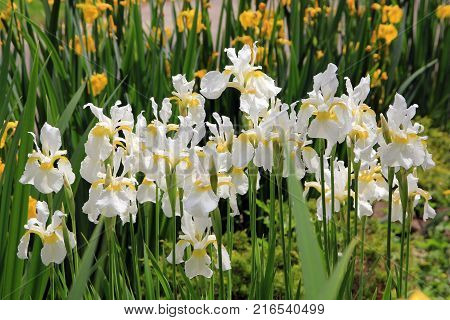 Many white irises on the flower bed in the garden