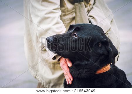 Black labrador stitting next to his owner. Love loyalty and trust between men and dogs concept.