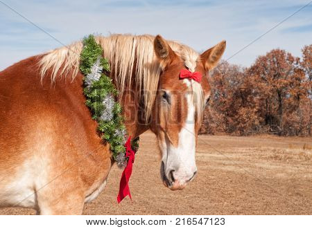 Closeup of a Belgian draft horse wearing a Christmas wreath and small bow on his forelock, looking at the viewer with a sweet expression