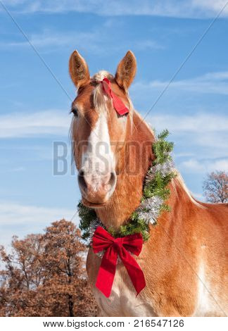 Blond belgian draft horse looking straight at the viewer with a Christmas wreath around his neck and a bow in his mane