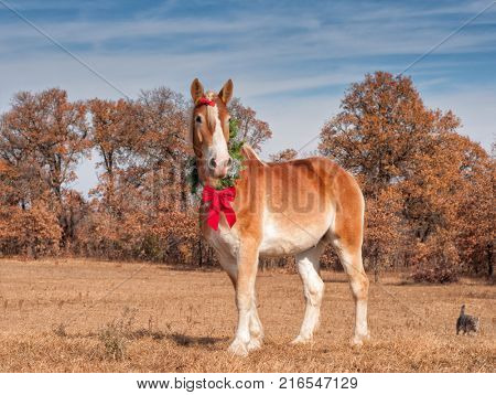 Blond Belgian draft horse standing in winter pasture wearing a Christmas wreath arounf his neck and a red bow in his forelock