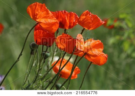 Bright red flowers of the wild poppy field on a summer green meadow, open with red petals. Flowers Red poppies blossom on wild field. Beautiful field red poppies. Red poppies in soft light. Natural Drugs. Glade red poppies. Lonely red poppy. Ukraine. 2017