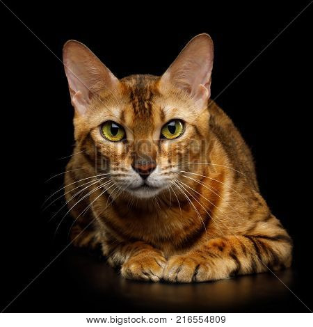 Adorable Bengal Cat with Huge eyes cozy Lying on isolated on Black Background, front view