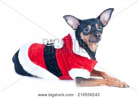 Funny puppy dog toyterrier in Santa costume isolated on white