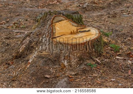 Pine tree forestry exploitation in Carpathian mountain in Romania. Pine stump, result of tree felling. Total deforestation area, cut forest. swawn trunk