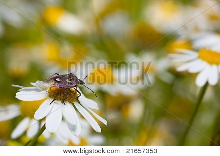 Purple shield bug sitting on a daisy in a field of daisies poster