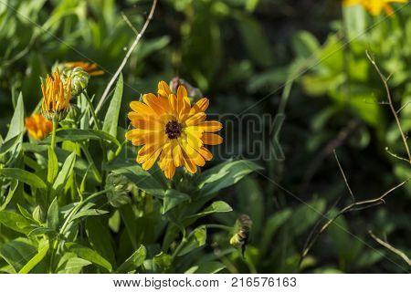 Medicinal herbs: Yellow-hot flower of marigold (Calendula officinalis)