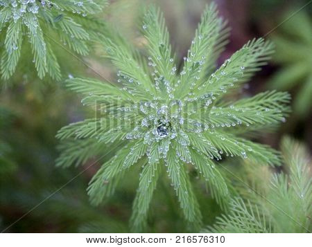 Green fern or pine with water drops. Macro.