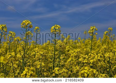 Close up rapeseed (Brassica napus) flower ending blooming ripening oilseed rape over blue sky. Close up of rapeseed field.