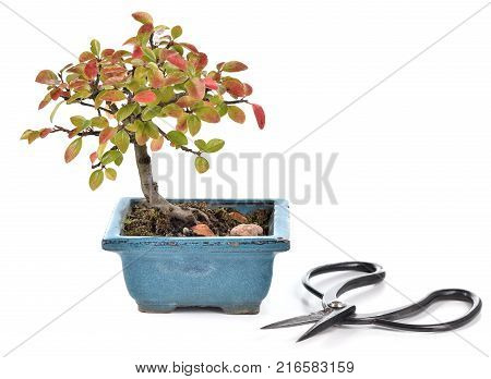 Small bonsai Cotoneaster integerrimus in blue ceramic pot and bonsai scissors isolated on white background. Bonsai with autumn leaves. Copy space