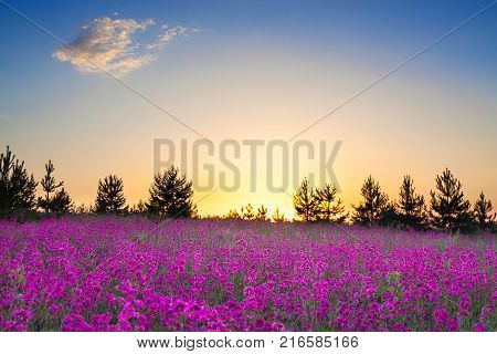 spring wild flowers on a field. summer rural landscape with purple flowers on a meadow and sunset. blossoming field wildflowers on sunrise.