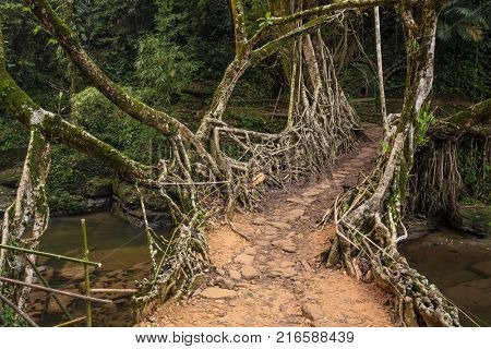 Living roots bridge near Riwai village, Cherrapunjee, Meghalaya, India. This bridge is formed by training tree roots over years to knit together.