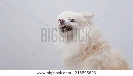 White pomeranian bark