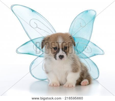 pembroke welsh corgi puppy with angel wings on white background