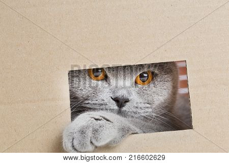 The kitten looks out of the box. British cat plays hide and seek. A pet inside a cardboard box with place for text. Face and paws hidden kittenwith copy space.